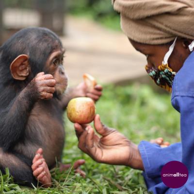 Kyungu at Lwiro Primates Sanctuary Post